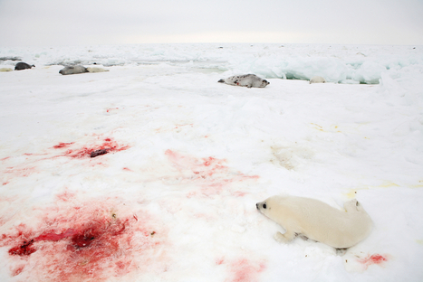 #ignoble #SHITTY #CANADA> Bill Seeks to Keep Animal Activists Away from Seal Hunt | Nature Animals humankind | Scoop.it