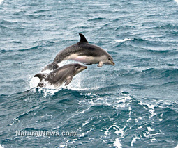 Animal intelligence now irrefutable: Bottlenose dolphins call each other by name | Natural Wellness news | Scoop.it