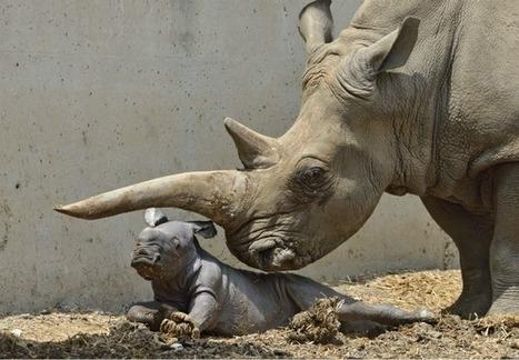 PHOTOS: Rare white rhino born at Ramat Gan Safari | What's Happening to Africa's Rhino? | Scoop.it