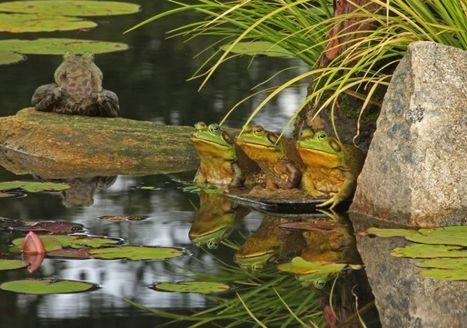 Le triste sort des grenouilles | Biodiversité | Scoop.it