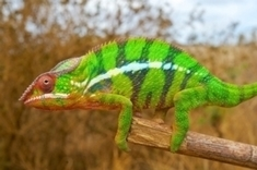 The Secret to Chameleons' Ability to Change Color | Libraries and information literacy skills | Scoop.it