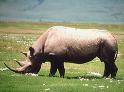 Can Economics 101 save the rhino? | Save our Rhino and all animals...this is what it looks like!!!!! | Scoop.it