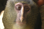 Remarkable new monkey discovered in remote Congo rainforest | Life on Earth | Scoop.it