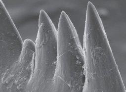 Jawless vertebrate had world's sharpest teeth | Amazing Science | Scoop.it