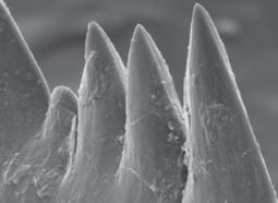 Jawless vertebrate had world's sharpest teeth | Amazing Science | Scoop.it