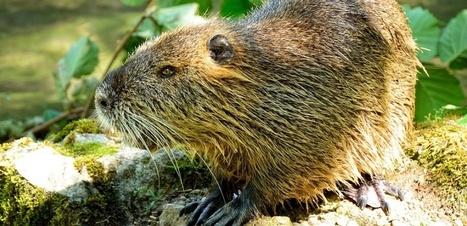 Les barrages des castors... profitent aux saumons ! | Zones humides - Ramsar - Océans | Scoop.it