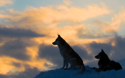 Wyoming Wolves Attack Far Fewer Cattle Than Ranchers Claim | Life on Earth | Scoop.it