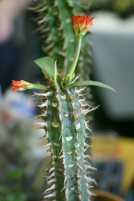 Photo d'Euphorbiacée : Euphorbe de Viguier - Euphorbia viguieri   Cactus and Succulents : Photos de cactus et de plantes grasses gratuites et libres de droits   Scoop.it