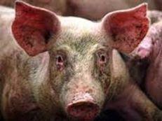 PPA, DEP: les porcs européens assiégés | Toxique, soyons vigilant ! | Scoop.it