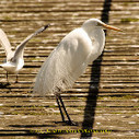 Great Egret <br/>#LakeColac #nature #photography #birds #birding  - via @fred_od_photo   Photography   Scoop.it