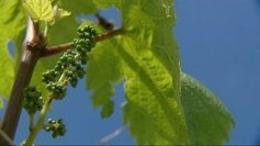 1000 bouteilles de Chablis produites d'une vigne « franc de pied » | Le Vin et + encore | Scoop.it