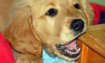 How to Deal with a Teething Dog: Dog Care: Animal Planet   Everyone Should Own A Pet   Scoop.it