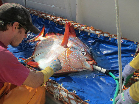 Researchers Reveal The First Warm-Blooded Fish | Natural History, Environment, Science, & Robots | Scoop.it