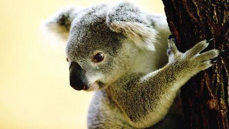 A ne pas confonre avec le brame du cerf: Le cri éléphantesque du koala en rut - Le Figaro | Séjours nature dans le Nord de la France : cerfs dans le Pinail, phoques en  Baie-de-Somme, pêche à la mouche à Coyolles | Scoop.it