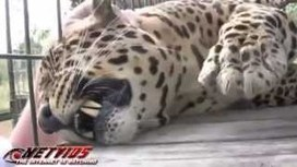 Big Leopard Likes To Be Pet   Abgefahrene Tiere   Scoop.it