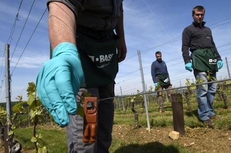 Confusion sexuelle dans les vignes... pour éviter les pesticides | Agriculture en Dordogne | Scoop.it