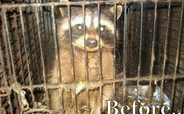 Raccoon in Watery Prison: Watch His Rescued Bliss | This Gives Me Hope | Scoop.it