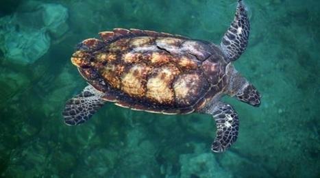La Réunion: Percutée par une hélice de bateau, une tortue meurt des suites de ses blessures   Biodiversité   Scoop.it