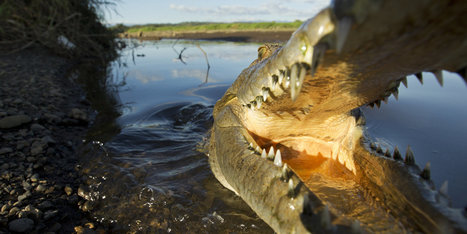 American Surfer Mauled By Crocodile In Costa Rica | Logical Fallacy Resources | Scoop.it