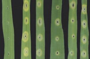 New Phytologist: Arabidopsis EF-Tu receptor enhances bacterial disease resistance in transgenic wheat (2015) | Effectors and Plant Immunity | Scoop.it