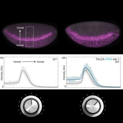 Turning the Volume of Gene Expression Up and Down | Amazing Science | Scoop.it