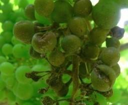 De la vigne résistante au mildiou? | actualité-buduquebec | Scoop.it
