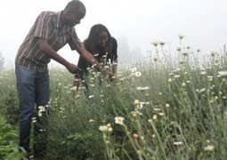 Kenyan pyrethrum will blossom again - Farming Africa | Farming-Africa | Scoop.it