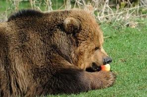 Lumière sur le diabète réversible du grizzly   Forme, Poids et Nutrition   Scoop.it
