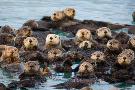 Why Sea Otters Hold Hands & Wrap Pups in Seaweed | Cute Scoops | Scoop.it