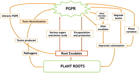 Portraying mechanics of plant growth promoting rhizobacteria (PGPR): A review | Plant-Microbe | Scoop.it