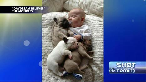 Baby Takes a Nap With French Bulldog Puppies - Fox News Insider | French Bulldog | Scoop.it