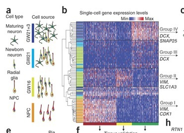 Low-coverage single-cell mRNA sequencing reveals cellular heterogeneity and activated signaling pathways in developing cerebral cortex | Single cell genomics and transcriptomics | Scoop.it