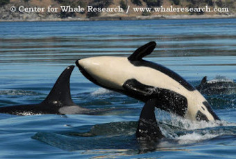 RTSea Blog: keeping an eye on Nature: Puget Sound Orca Fatality: Canadian naval exercises may be a root cause   All about water, the oceans, environmental issues   Scoop.it