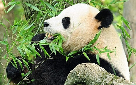 Giant Pandas hold new weapon in fight against superbugs | Amazing Science | Scoop.it
