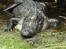 American Alligators, American Alligator Pictures, American Alligator Facts - National Geographic | Gatorisms | Scoop.it