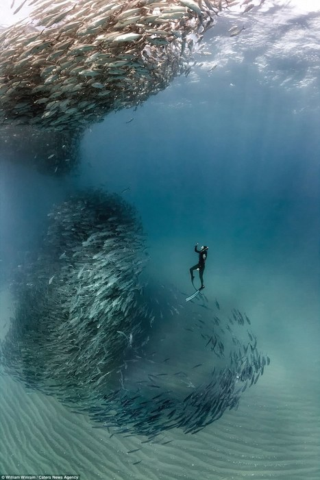 Incredible photographs show a school of fish forming a 'tornado' | Baja California | Scoop.it