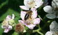 Black honeybees rediscovered in Britain | 100 Acre Wood | Scoop.it