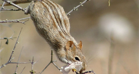 ALX3 gene gives mice and chipmunks their pinstripes   Amazing Science   Scoop.it