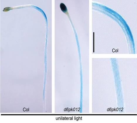 Plant Cell: D6PK Kinases Promote Phototropic Hypocotyl Bending in Arabidopsis | Plant Biology Teaching Resources (Higher Education) | Scoop.it