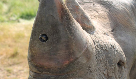 Rhino horn cameras promise to catch poachers in the act   UncleTom6969   Scoop.it