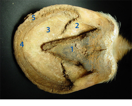 Horse hoof anatomy taught with clear, well labeled photos and simple explanation   The Natural Horse   Scoop.it