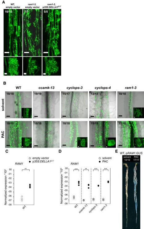 A CCaMK-CYCLOPS-DELLA Complex Activates Transcription of RAM1 to Regulate Arbuscule Branching | Plant-Microbe Interaction | Scoop.it