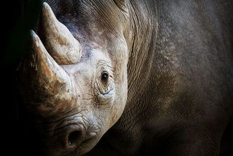 A Sickening Solution to the Slaughter of Rhinos | Our Evolving Earth | Scoop.it