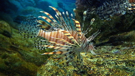 Jamaica beats back lionfish with knife and fork | Infraestructura Sostenible | Scoop.it