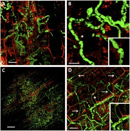 Plant Defense Mechanisms Are Activated during Biotrophic and Necrotrophic Development of Colletotricum graminicola in Maize | Fungal effectors | Scoop.it