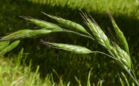 Grass Identification: The Tribes of grasses 3 - Bromeae | Life as a cow | Scoop.it