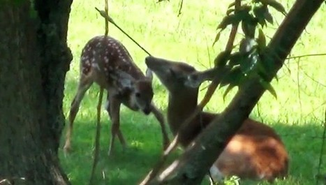 Devoted Mother Deer Defies Hunter's Attempt On Her Life | Nature Animals humankind | Scoop.it