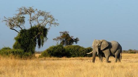 Comment les éléphants trompent le cancer   En vrac   Scoop.it