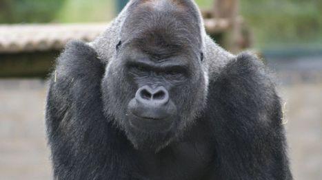 Twycross Zoo begins great ape heart disease study - BBC News | Jeff Morris | Scoop.it