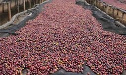 Ethiopian coffee farmers full of beans as barcodes promise better business | Agricultural Biodiversity | Scoop.it